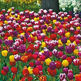 2 Months of Long-Stemmed Flowering Tulips Mixture