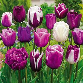 Enchanted Evening™ Tulip Mixture