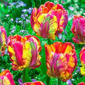 Rainbow Parrot Tulip