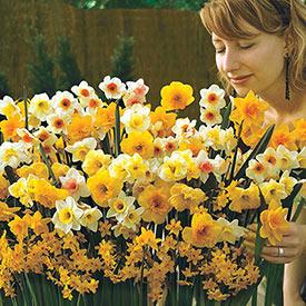 Spectrum Sweet Aroma™ Daffodil Mixture