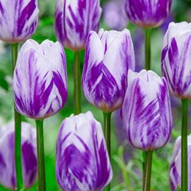 Flaming Flag Tulip