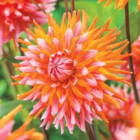 Orange Turmoil Dahlia