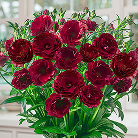 Butterfly™ Hades® Ranunculus