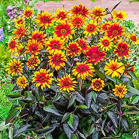 False Sunflower Breeders Mixture