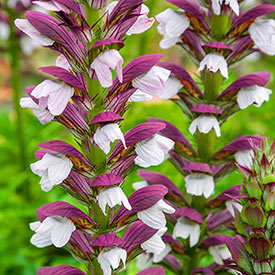Morning Candle Acanthus