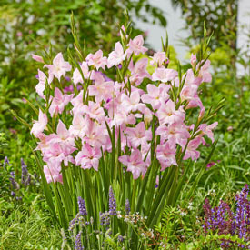 Charming Lady Hardy Gladiolus