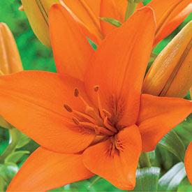 Orange Ton Asiatic Lily
