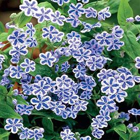 Blue Eyed Mary