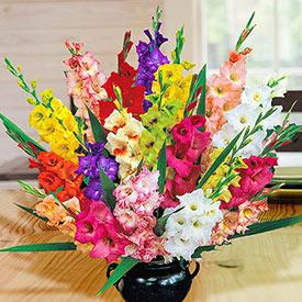 Deluxe Gladiolus Mixture Super Sak®