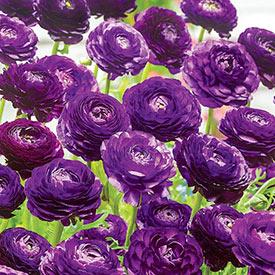 Purple Sensation Ranunculus