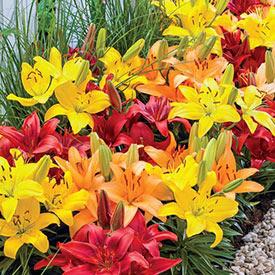 Sunset Carpet Border Lily™ Mixture