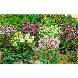 Double-Flowered Hellebore Collection
