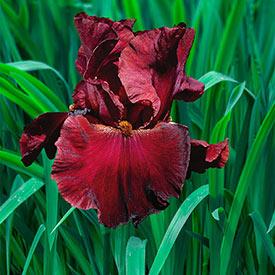 Red Masterpiece Tall Bearded Iris