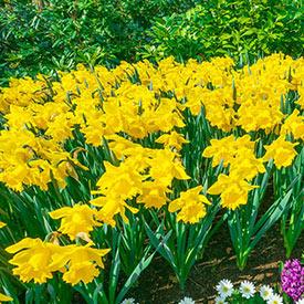 Yellow Trumpet Daffodils Super Sak®