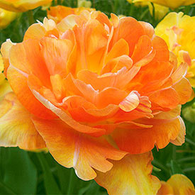 Charming Beauty Tulip