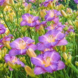 Entrapment Reblooming Daylily