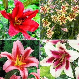 Lily Tree® Collection