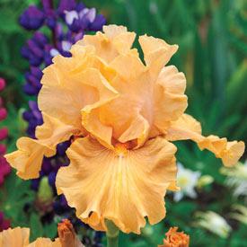 Mango Entrée Bearded Iris