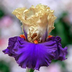 Air of Mystery Bearded Iris