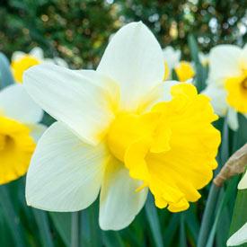 Goblet Daffodil
