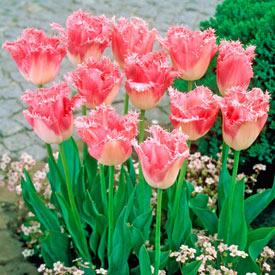 Fancy Frills Tulip