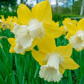 Teal Daffodil
