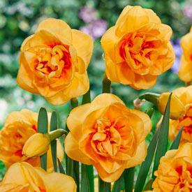 Boaz Daffodil