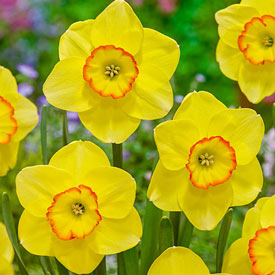 Pacific Rim Daffodil