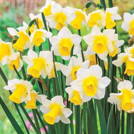 Golden Echo Daffodil
