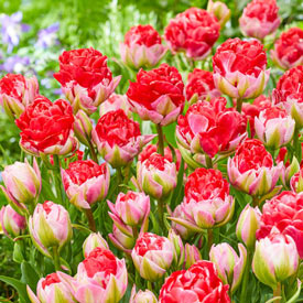 On the Double Red Tulip