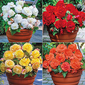 Superba Begonia Collection