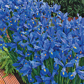 Discovery Dutch Iris