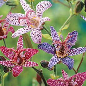 Toad Lily Mixture