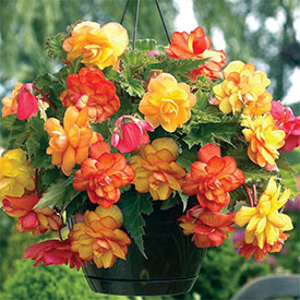 Golden Balcony Hanging Basket Begonia