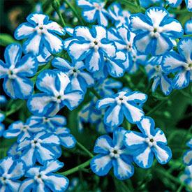 Starry Eyes® Siberian Bugloss