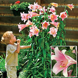 Bellsong Giant Trumpet Lily