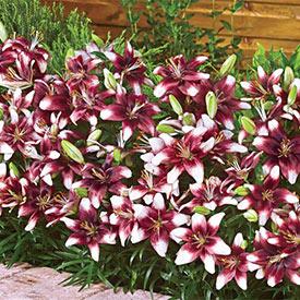 Push Off® Carpet Border Lily