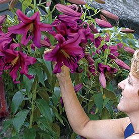 Purple Prince Lily Tree®