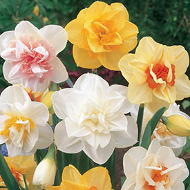 Double Daffodil Mixture