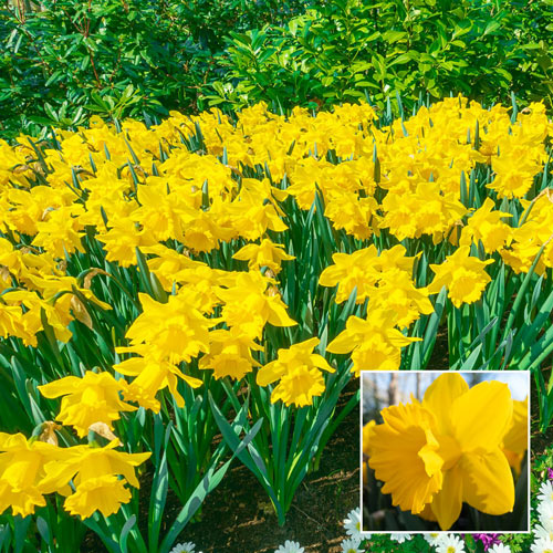 Yellow Trumpet Daffodils