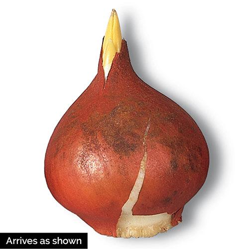 Variatie Red Tulip Mixture