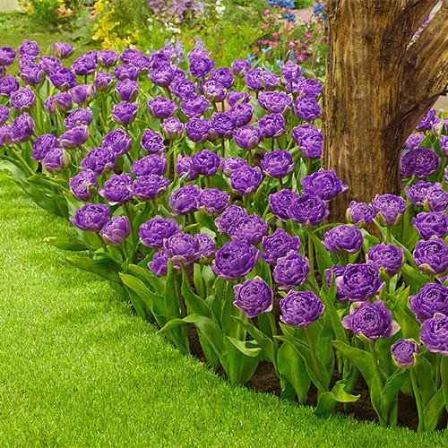 Double Flag Tulip