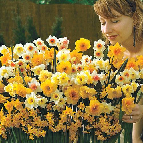 Spectrum Sweet Aroma Daffodil Mixture