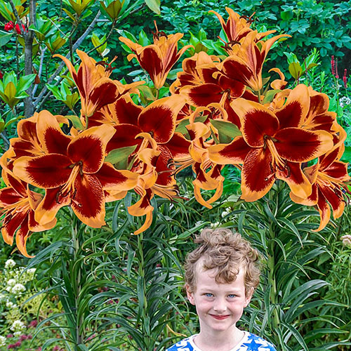 Red Morning Lily Tree