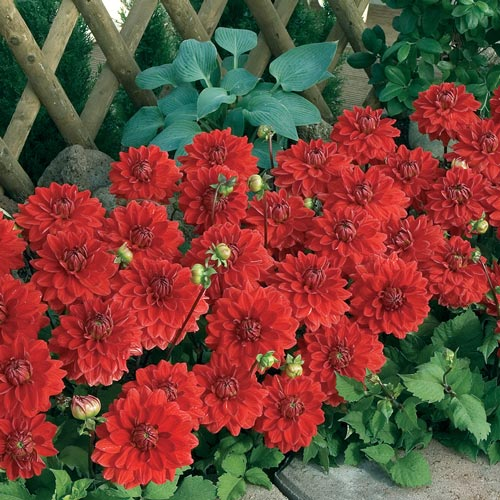 Red Carpet Border Dahlia