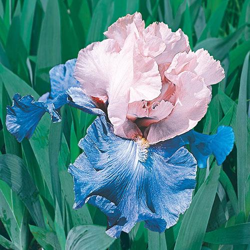 Poem of Ecstasy Tall Bearded Iris