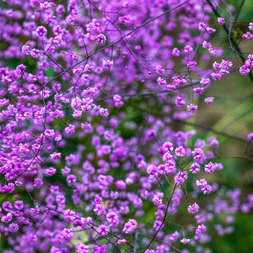 Hewitts Double Chinese Meadow Rue