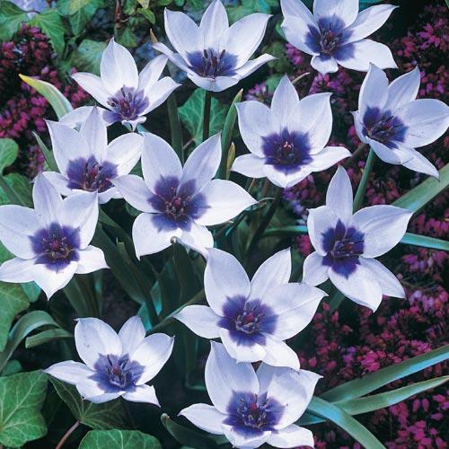 Wild Blue Heart Tulip