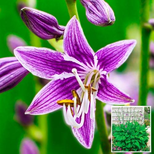 Purple Sensation Hosta