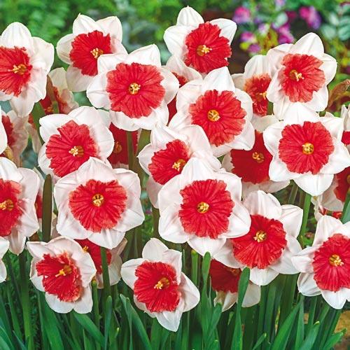 Riot Daffodil